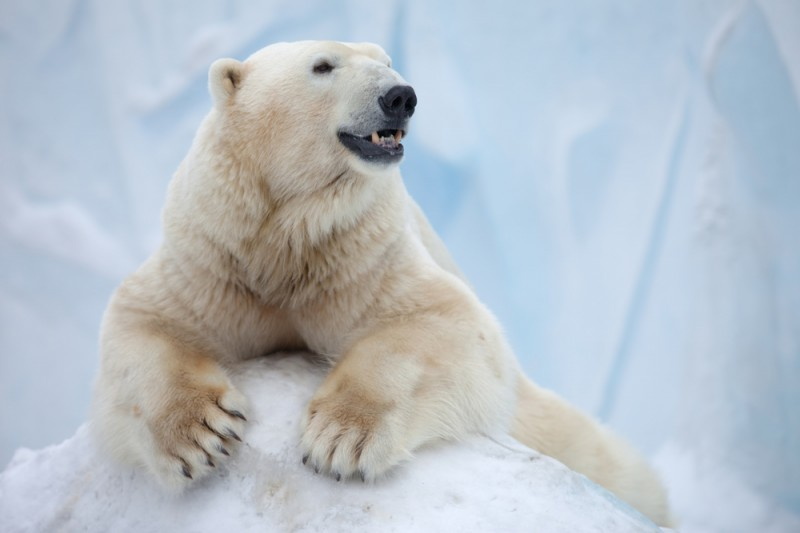 polar bear happy bear